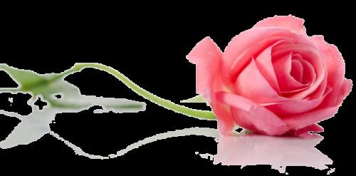 beautiful single pink rose lying
